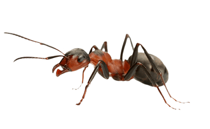 uploads ant ant PNG19347 3