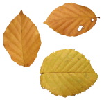 uploads autumn leaves autumn leaves PNG3581 25
