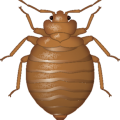 uploads bed bug bed bug PNG14 6