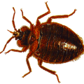 uploads bed bug bed bug PNG15 17