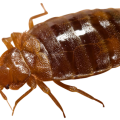 uploads bed bug bed bug PNG23 17