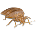 uploads bed bug bed bug PNG3 18