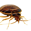 uploads bed bug bed bug PNG34 18