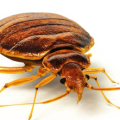 uploads bed bug bed bug PNG8 17