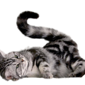 uploads cat cat PNG104 16