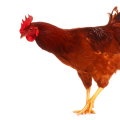 uploads cock cock PNG24 19