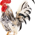 uploads cock cock PNG3 23