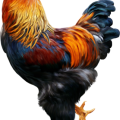 uploads cock cock PNG9 11
