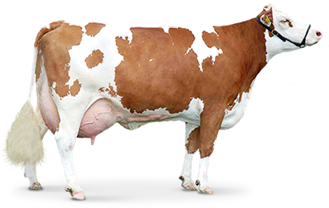 uploads cow cow PNG2136 24