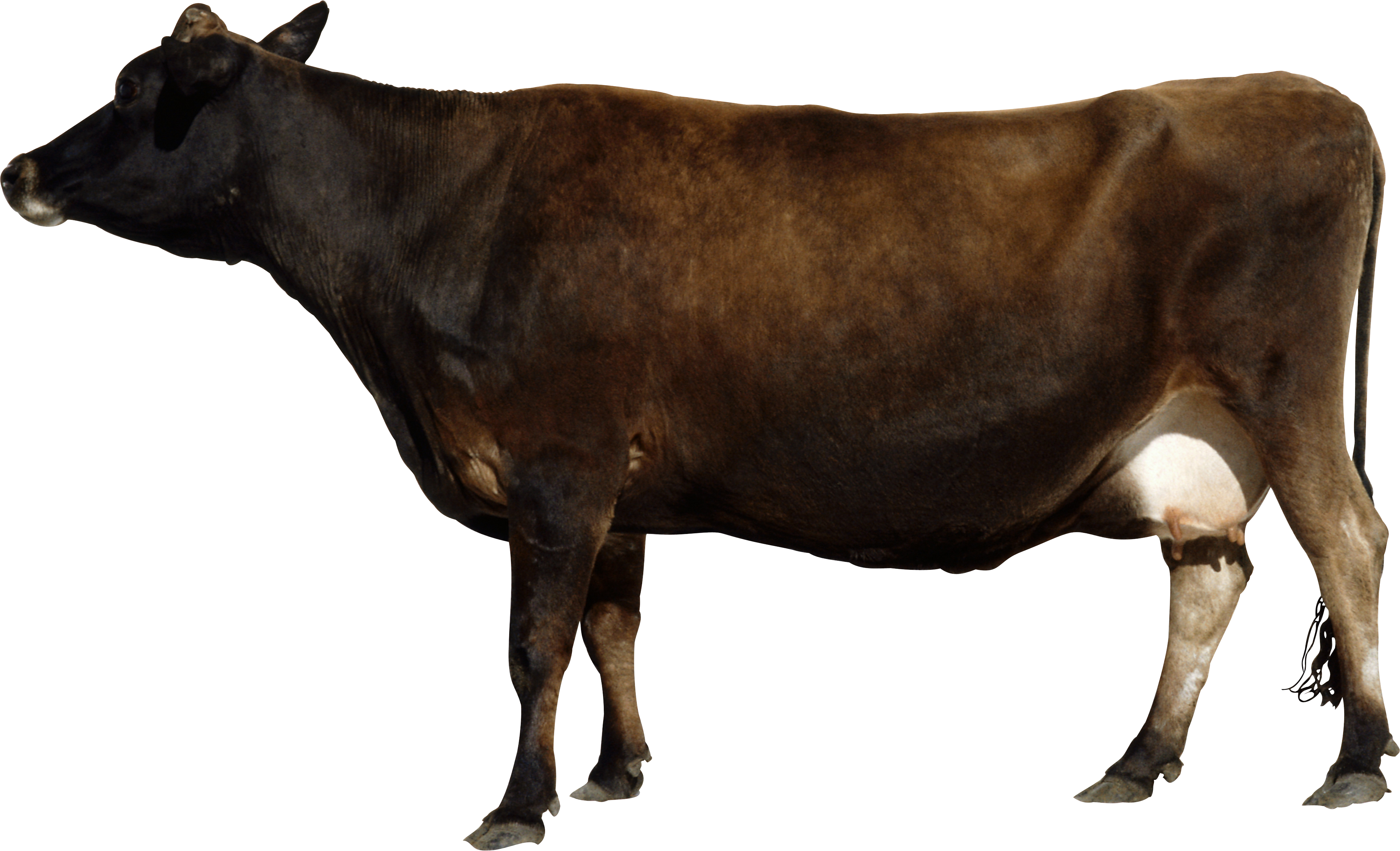 uploads cow cow PNG50562 25