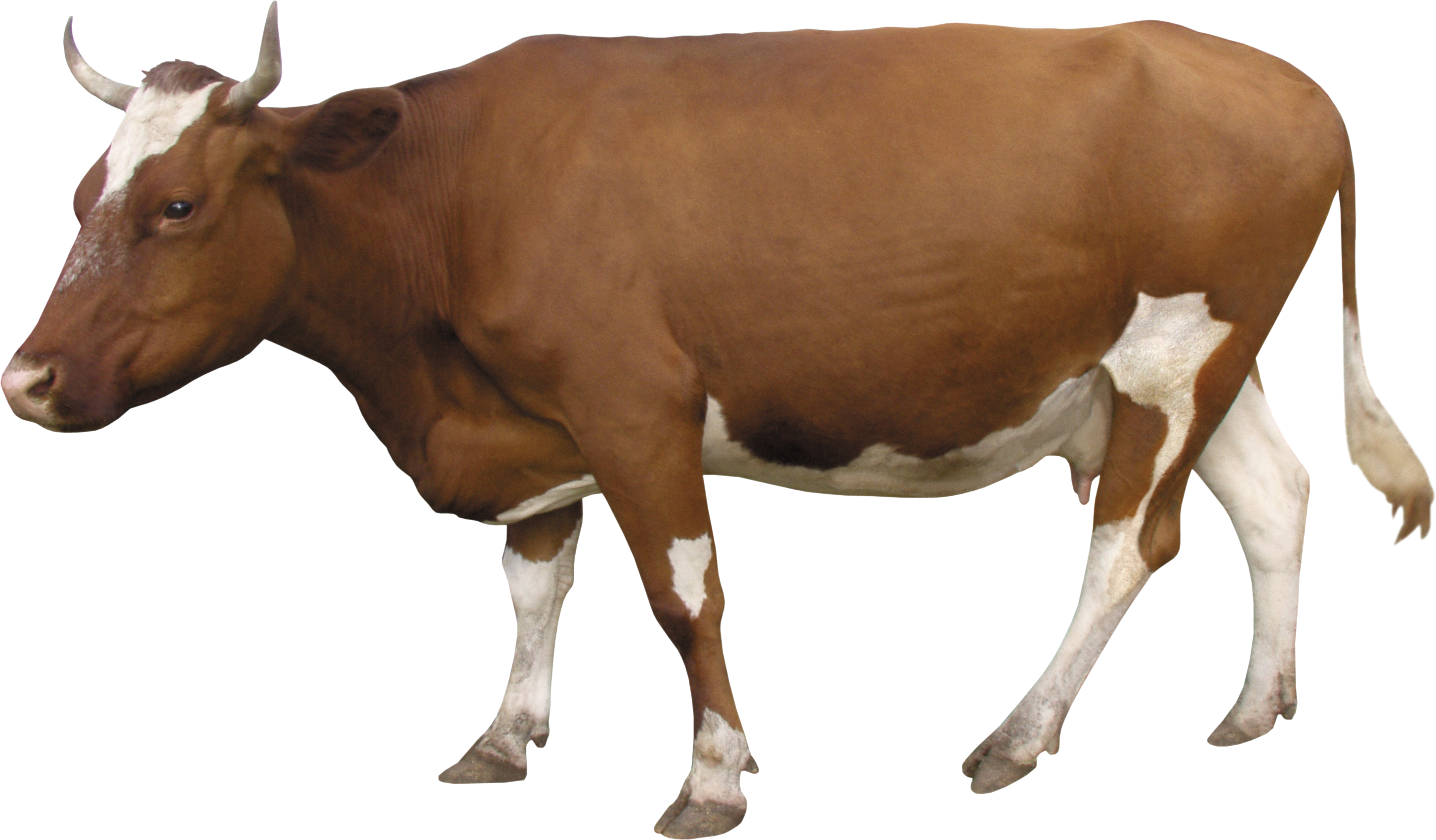 uploads cow cow PNG50563 24