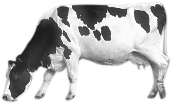 uploads cow cow PNG50571 25