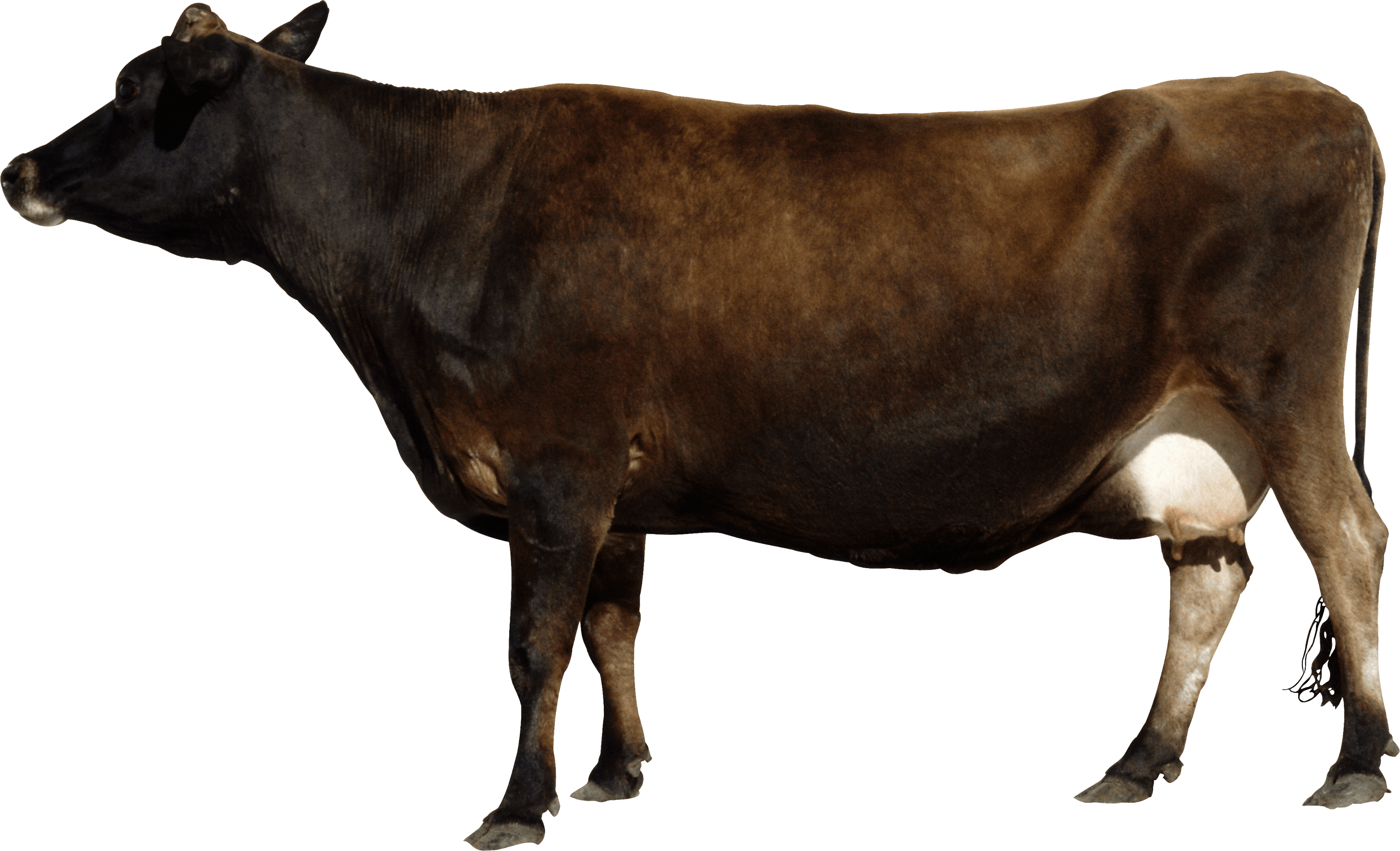 uploads cow cow PNG50573 25