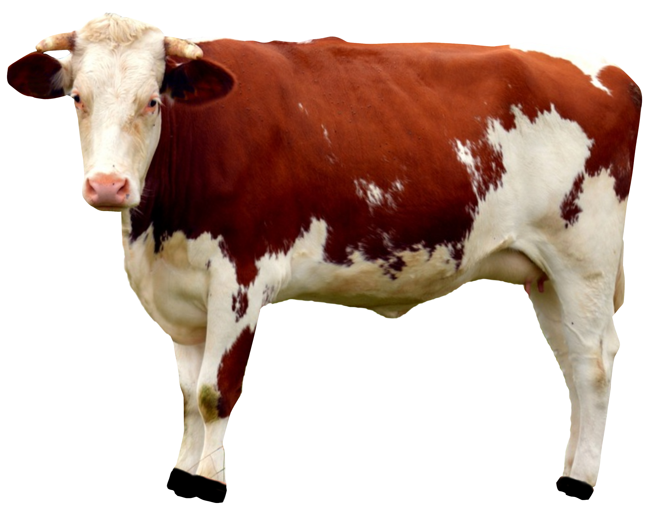 uploads cow cow PNG50628 25