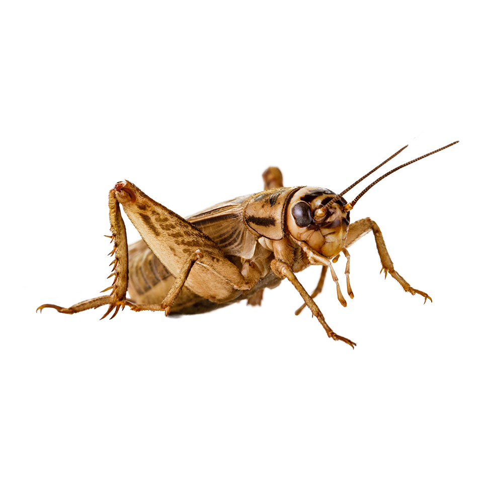 uploads cricket insect cricket insect PNG4 25