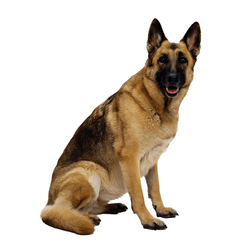 uploads german shepherd german shepherd PNG12 3