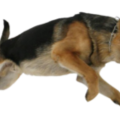 uploads german shepherd german shepherd PNG23 7