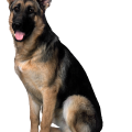 uploads german shepherd german shepherd PNG25 22