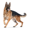 uploads german shepherd german shepherd PNG26 6