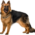 uploads german shepherd german shepherd PNG28 8
