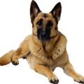 uploads german shepherd german shepherd PNG3 9