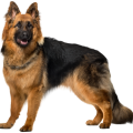 uploads german shepherd german shepherd PNG30 20