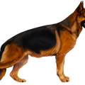 uploads german shepherd german shepherd PNG31 11
