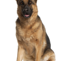 uploads german shepherd german shepherd PNG33 7