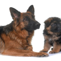 uploads german shepherd german shepherd PNG35 23