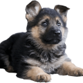 uploads german shepherd german shepherd PNG36 6