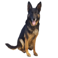 uploads german shepherd german shepherd PNG37 9