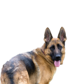 uploads german shepherd german shepherd PNG41 17