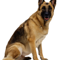uploads german shepherd german shepherd PNG42 22