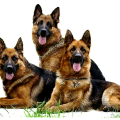 uploads german shepherd german shepherd PNG45 19