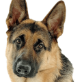 uploads german shepherd german shepherd PNG52 20