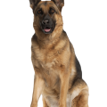 uploads german shepherd german shepherd PNG53 8