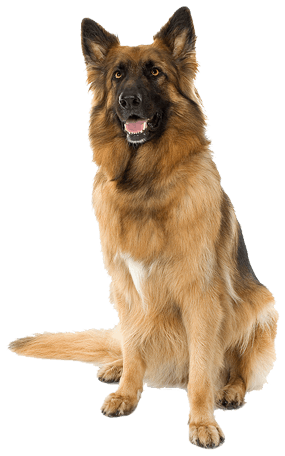 uploads german shepherd german shepherd PNG54 3