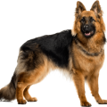 uploads german shepherd german shepherd PNG56 10