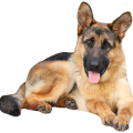 uploads german shepherd german shepherd PNG59 14