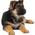 uploads german shepherd german shepherd PNG60 14