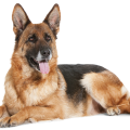 uploads german shepherd german shepherd PNG61 15