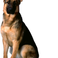 uploads german shepherd german shepherd PNG63 15