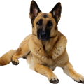 uploads german shepherd german shepherd PNG64 23