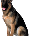 uploads german shepherd german shepherd PNG67 24