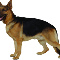 uploads german shepherd german shepherd PNG70 21