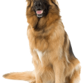uploads german shepherd german shepherd PNG9 13