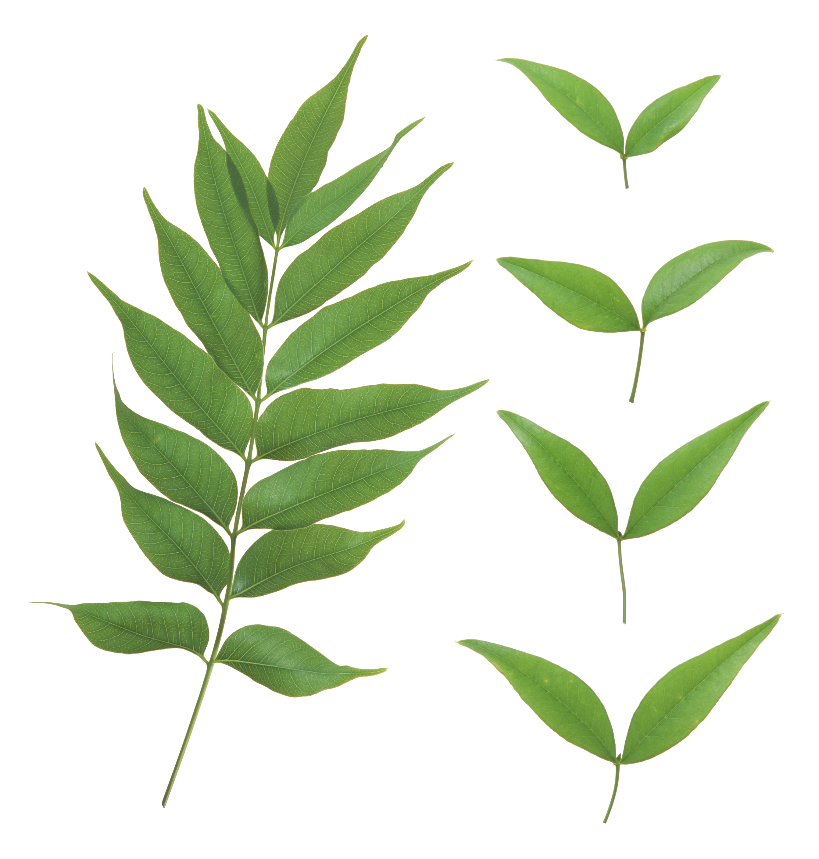 uploads green leaves green leaves PNG3614 3