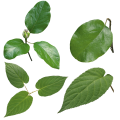 uploads green leaves green leaves PNG3617 7