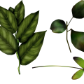 uploads green leaves green leaves PNG3620 8