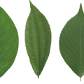 uploads green leaves green leaves PNG3644 24